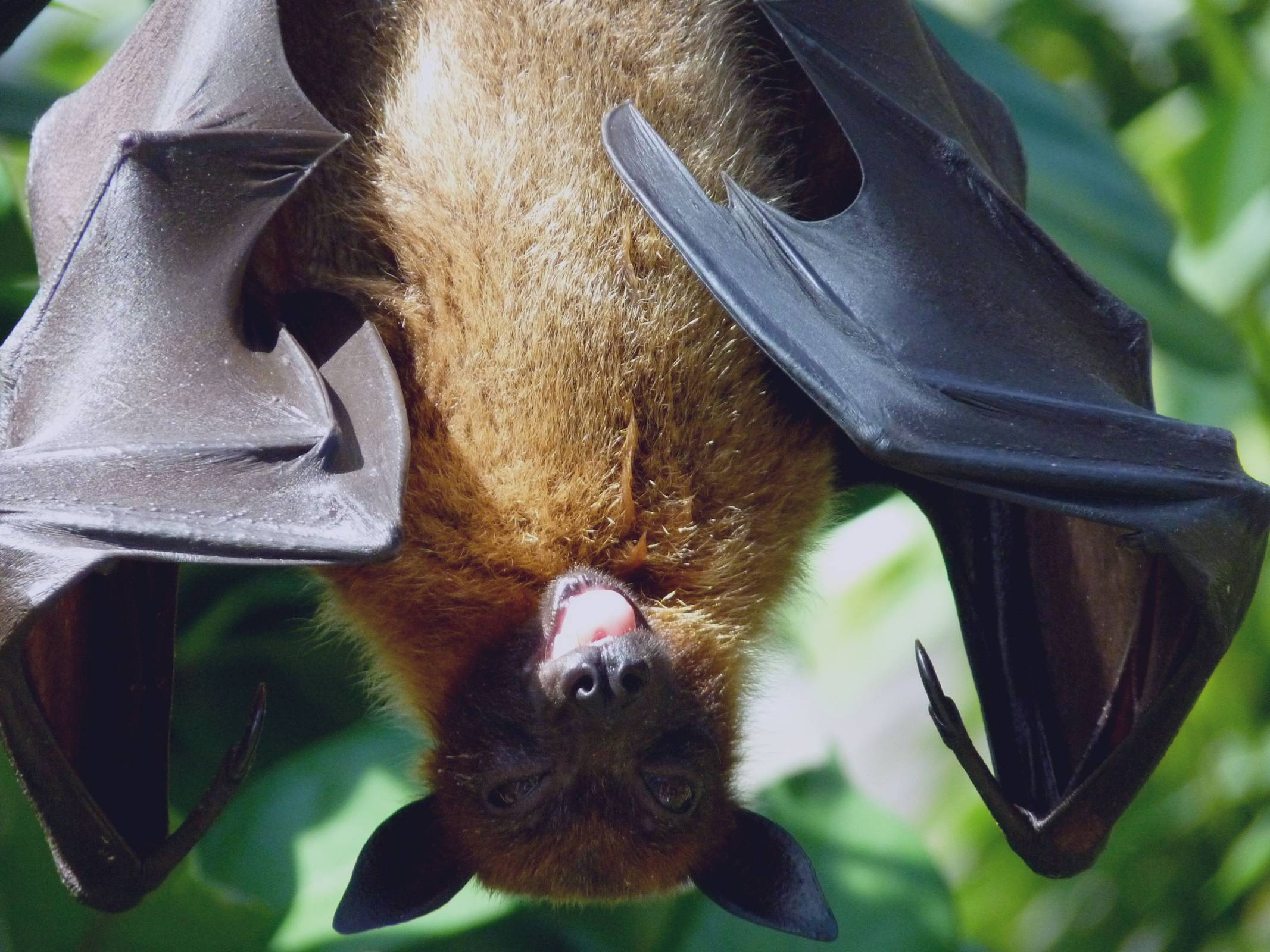 Bats Not Dogs Pose Greatest Rabies Risk in the USA ...