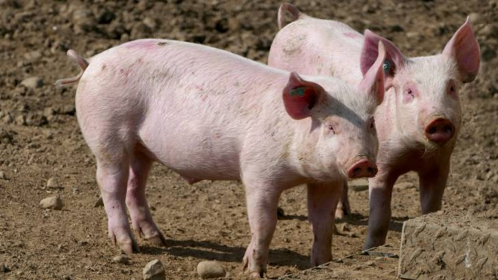 pigs who could carry nipah virus and transmit to humans