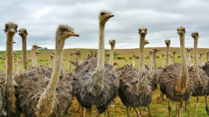Flock of ostriches, carrier of the CCHF