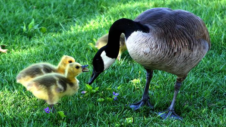 cnadian goose with babies