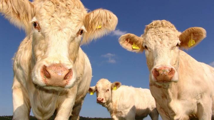 cows, bovines