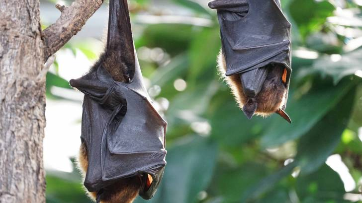 flying foxes bats hanging