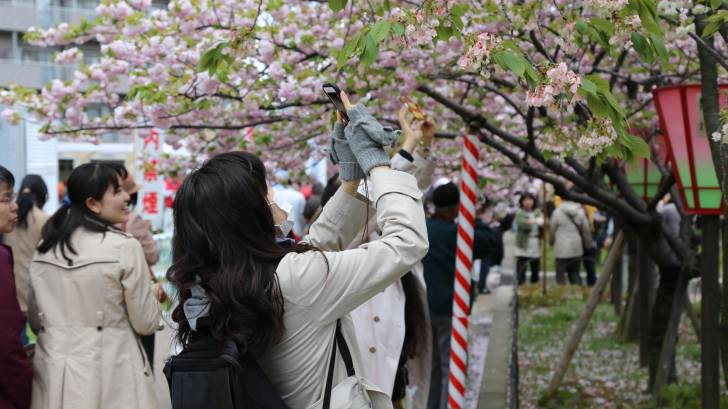 japanese women taking photos of cherry blossoms
