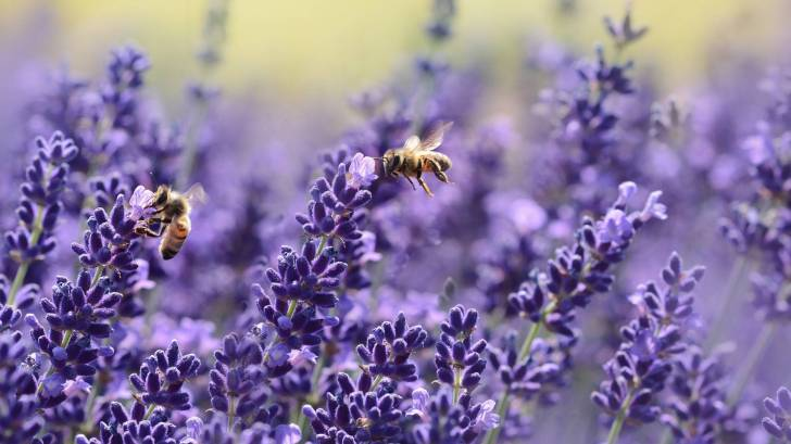 lavendar flowers with bees on them