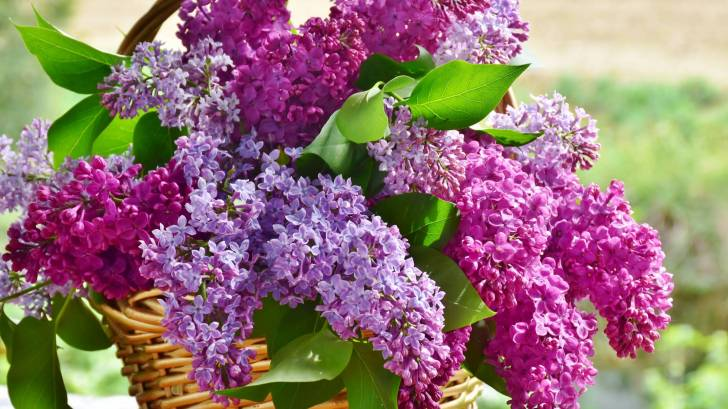 lilacs in a basket