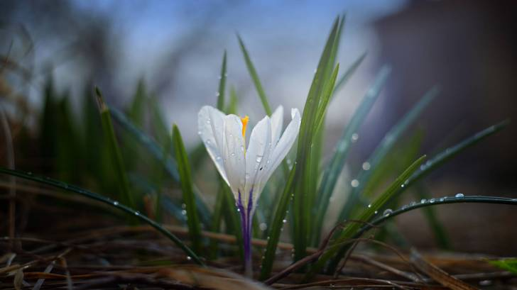 crocus beginning of spring