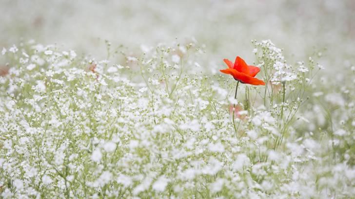 lone poppy in a field of white flowers