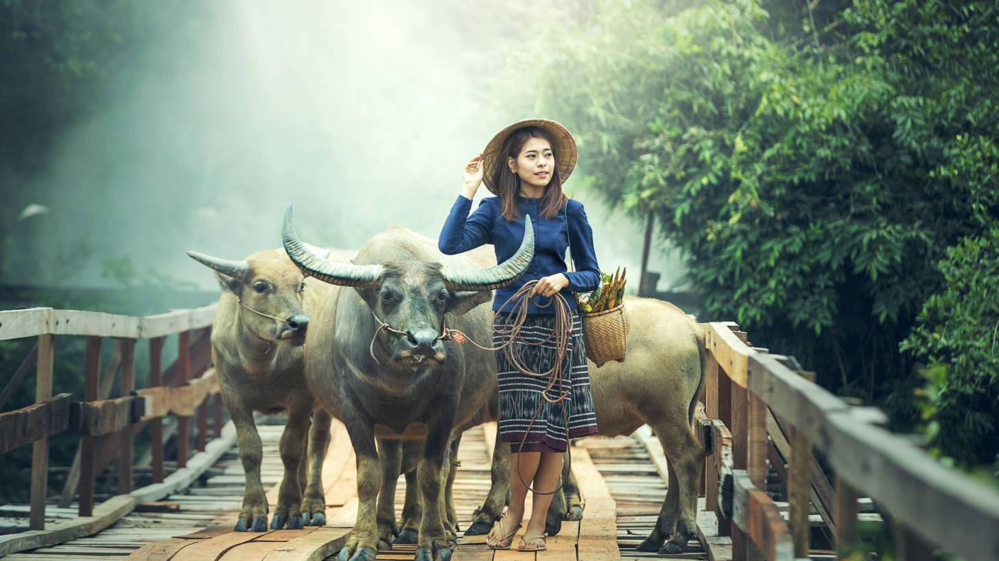 chinese woman with oxen on path