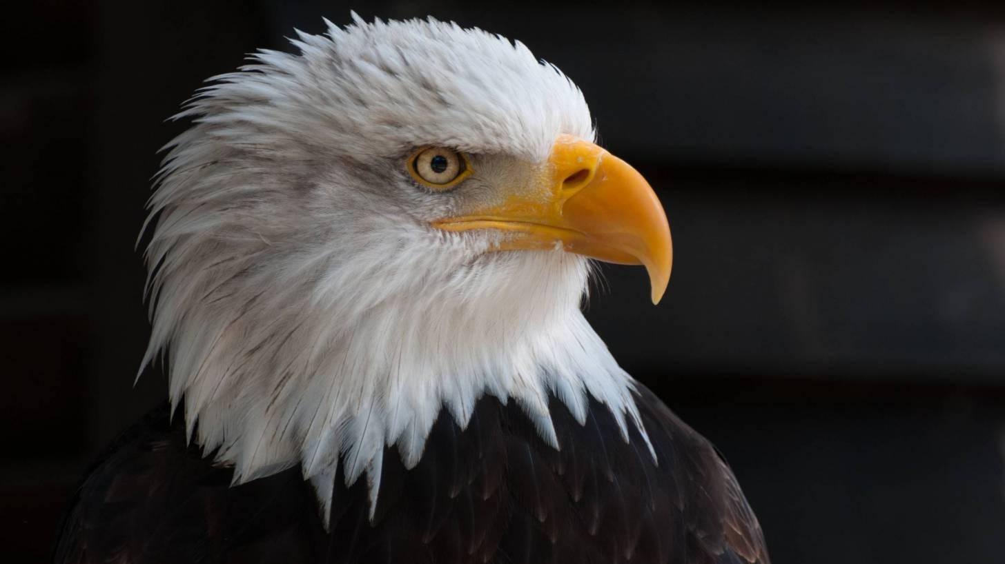 bald eagle symbol of usa strength