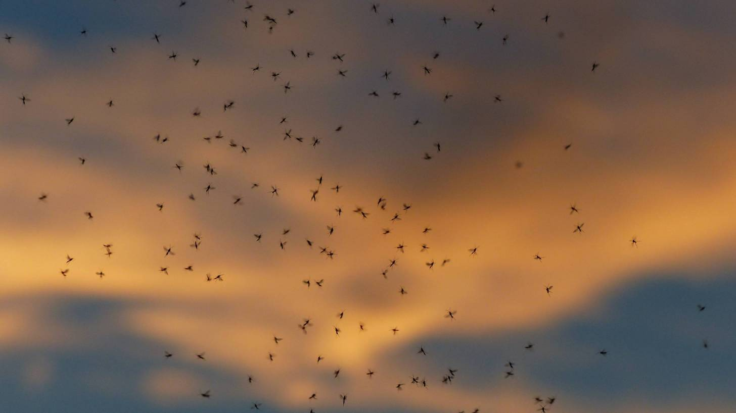 swarm of mosquitoes in the night sky