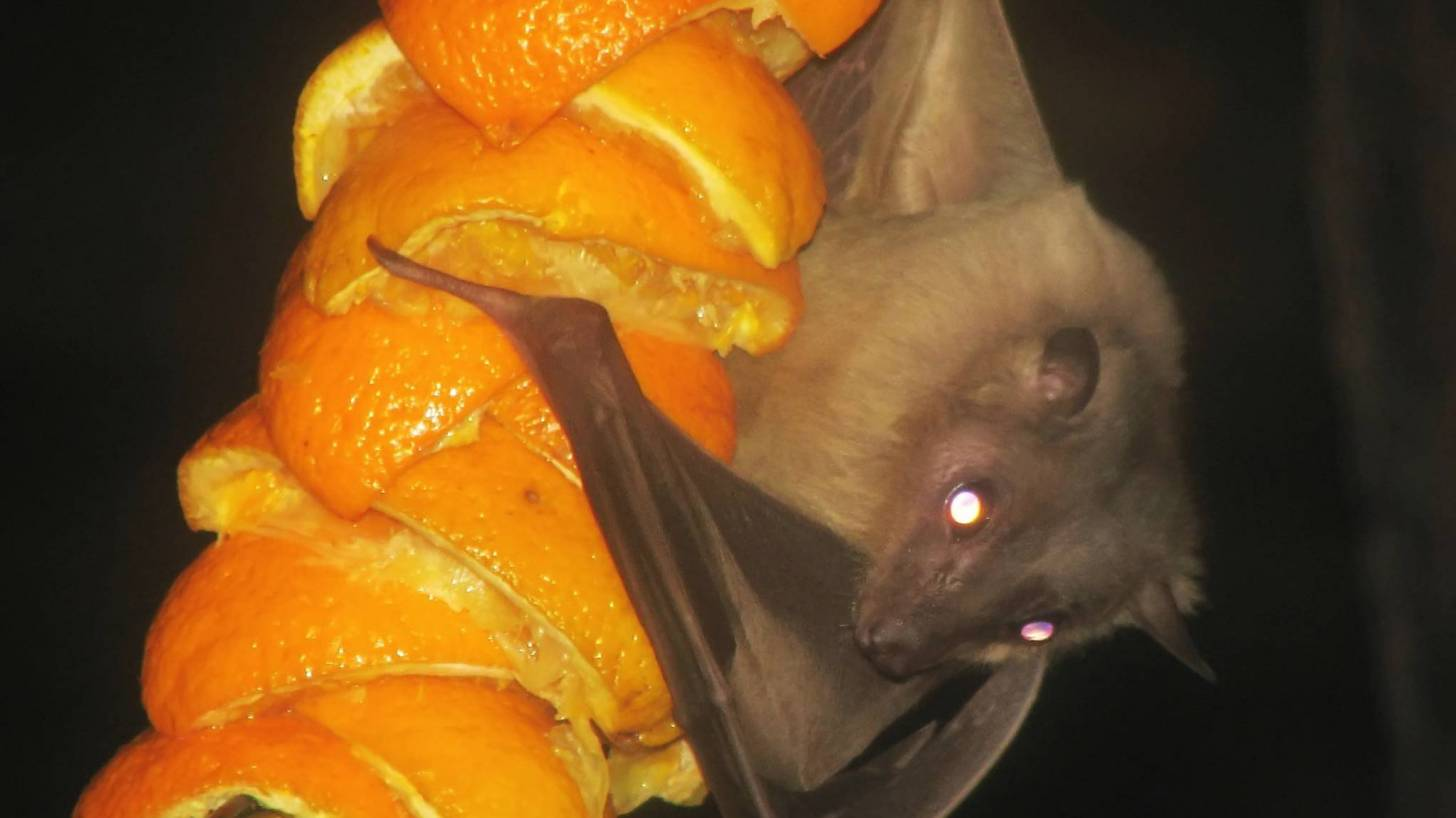 fruit bat on oranges