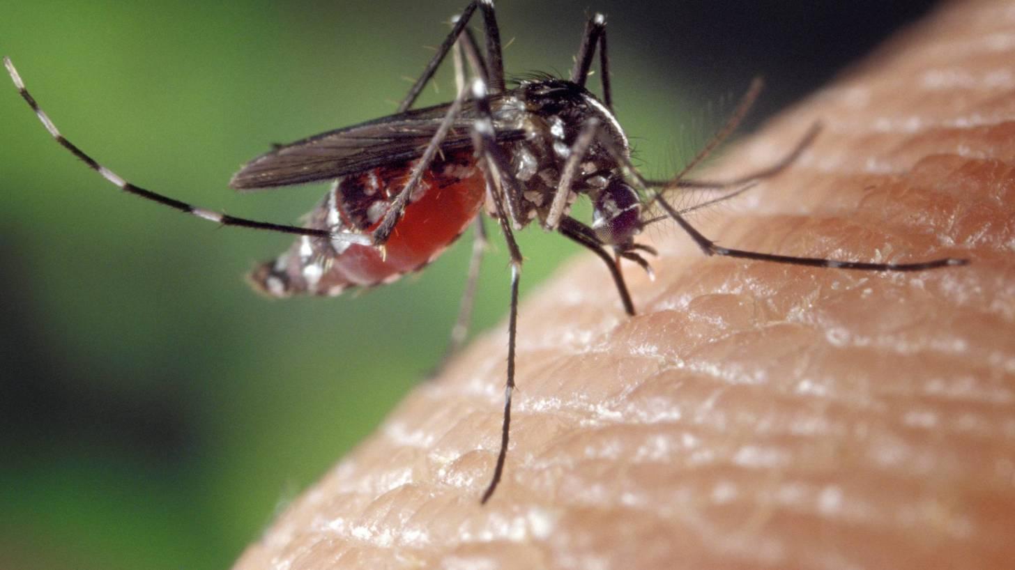 mosquito, biting a human arm