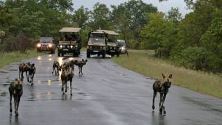 wild dogs are a road