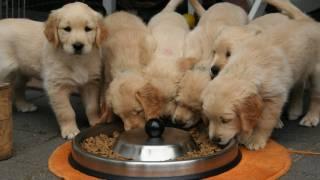 golden retriever puppies at food bowl