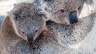 kid and mom Koala Bear