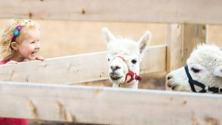 girl at a petting zoo, llamas