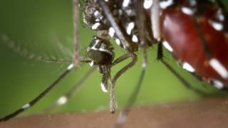 femaile mosquitoe