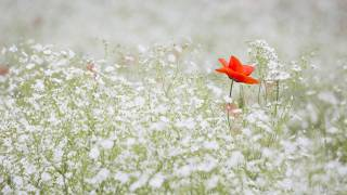 lone poppy in a field of white flowers