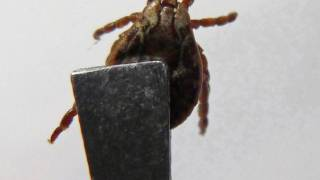 tick being held by tweezers