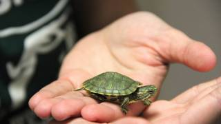 tiny turtle in childs hand