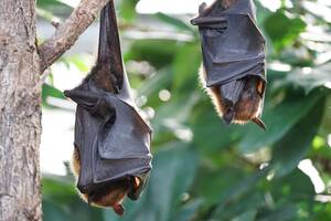flying fox bats hanging from a tree branch