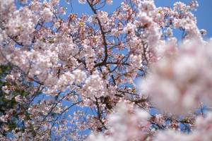 cherry blossoms, gift from japan to countries