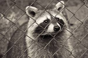 raccoon behind a fence