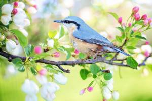 spring bird in flowering tree