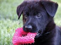 black german shepard with toy in mouth